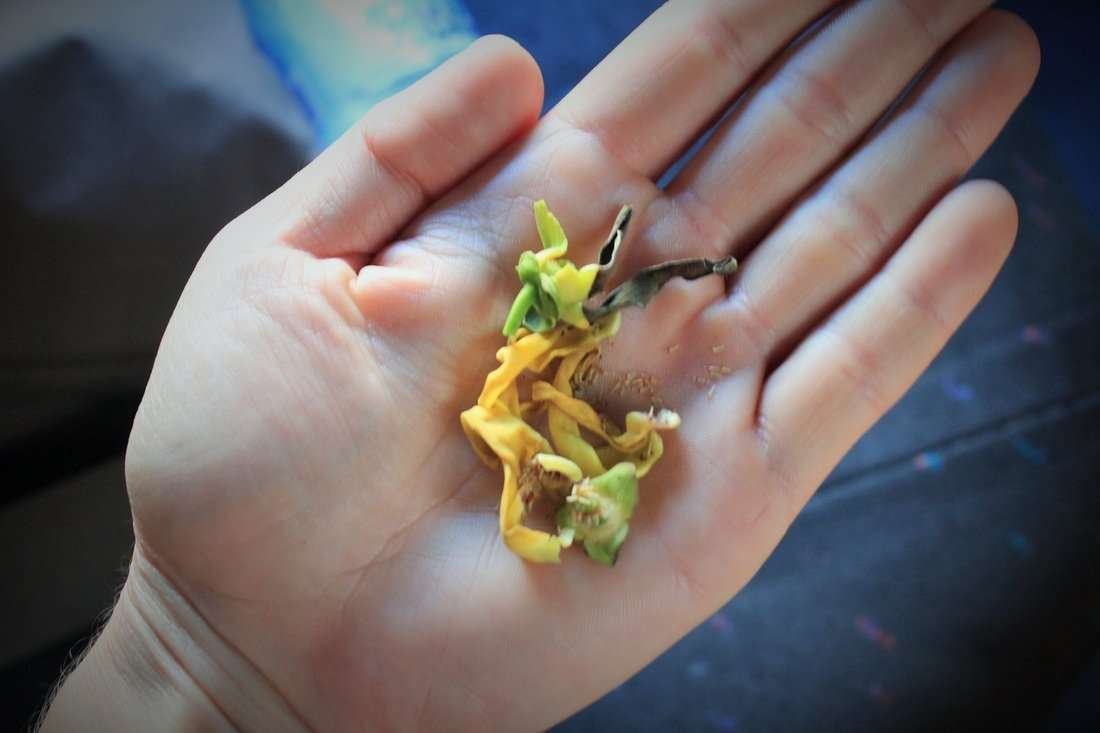 We stopped abruptly and Chino hopped out of the car. He returned handing me these small, but potent sweet smelling flowers. Oscar de la Renta used them for his Ylang Ylang parfum.