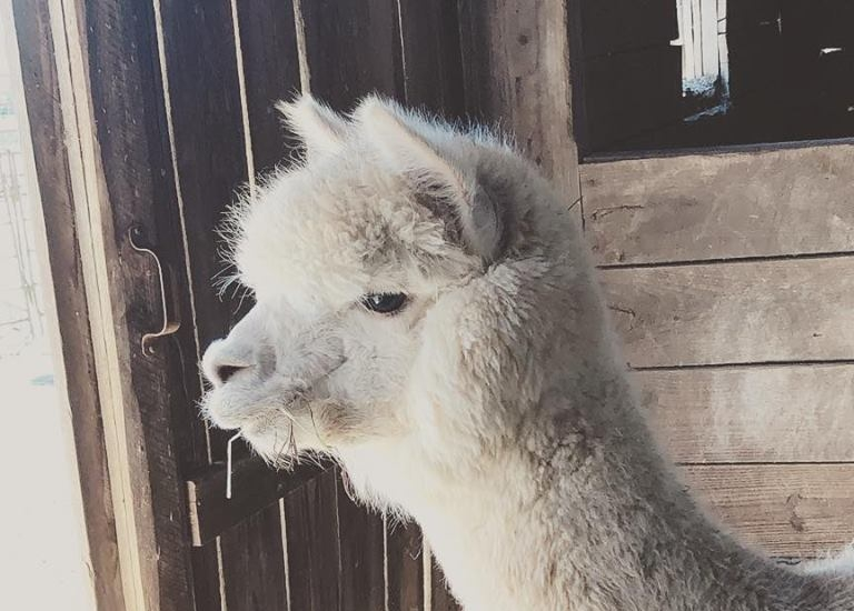 Alpaca Ranch Tour & Bonfire