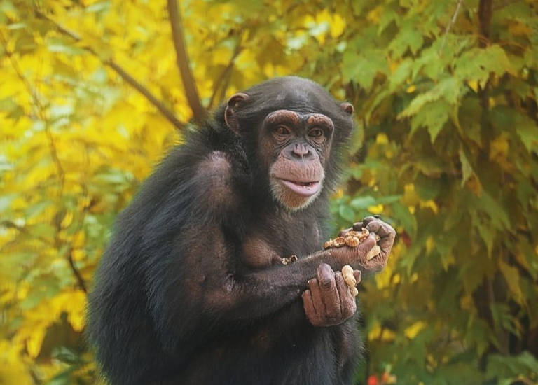 Georgia Chimpanzee Sanctuary Experience